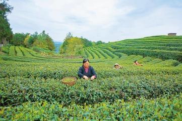 """對標補短 廣元茶產業破""""窘"""""""